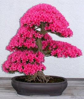 20071022110812 AzaleaBonsai2 Adenium Pink Flower
