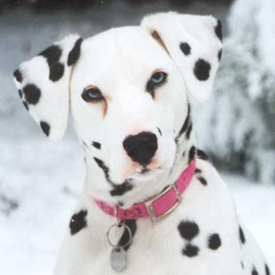 Cool Dalmatian Dog Wallpaper