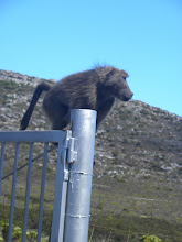 baboon  chillin on the entrance to the Cape of Good Hope