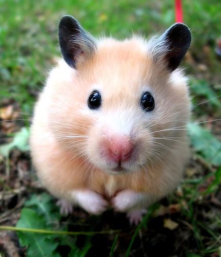 Como cuidar tu hamster