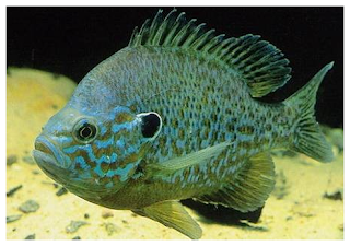 Piscic australis sunfish bluegill brim and bream for Bluegill fish tank