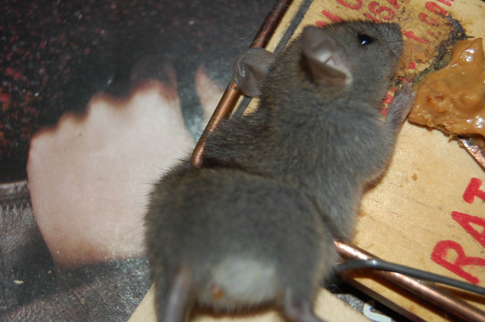 All City Animal Trapping Rat Control In Orange County