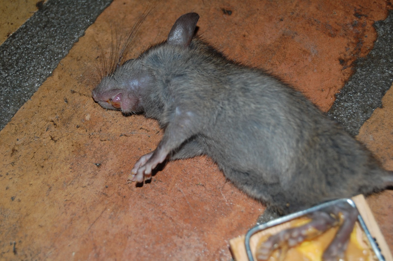 All city animal trapping rat control in riverside california call all city animal trapping and - Trappen rots ...
