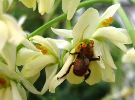 Uruçu coletando nectar na flor da Moringa