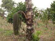 Pohon Aren dengan tandan bunga yang rendah