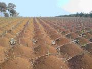 Big Cassava dengan Singkong Sambung