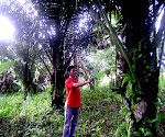 Pohon Aren Sawang dari Toraja