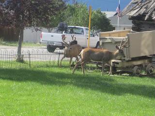 Mule Deer Buena Vista Heritage Museum Gore-Tex TransRockies Run