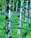 Russian River vines, with added blue