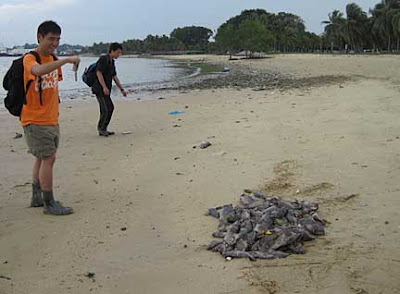wild shores of singapore: Why are there so many dead fish on Pasir ...