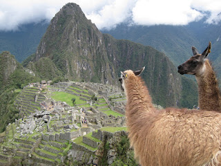Llamas on Machu Picchu