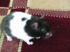 Hamsterul meu -Tray