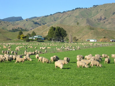 sheep farm husbandry