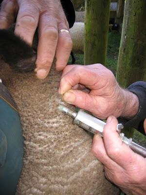 sheep farm husbandry