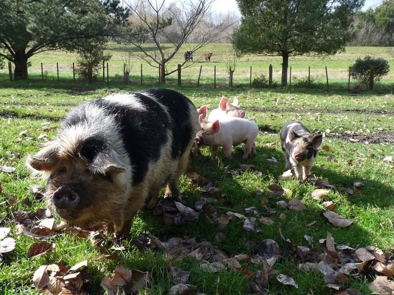 Pig Dog Training