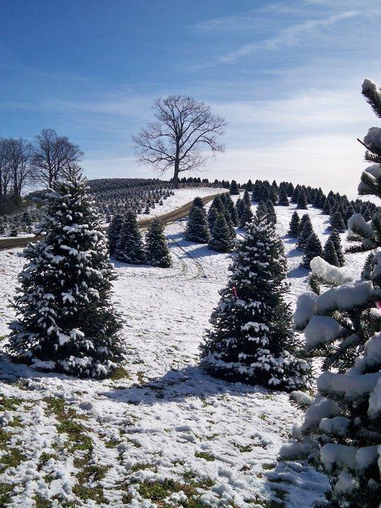 5 awesome christmas tree farms - Christmas Tree Farm Asheville Nc