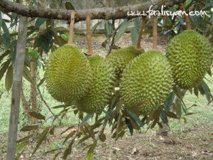 BUAH DERIAN KAMPONG...!!