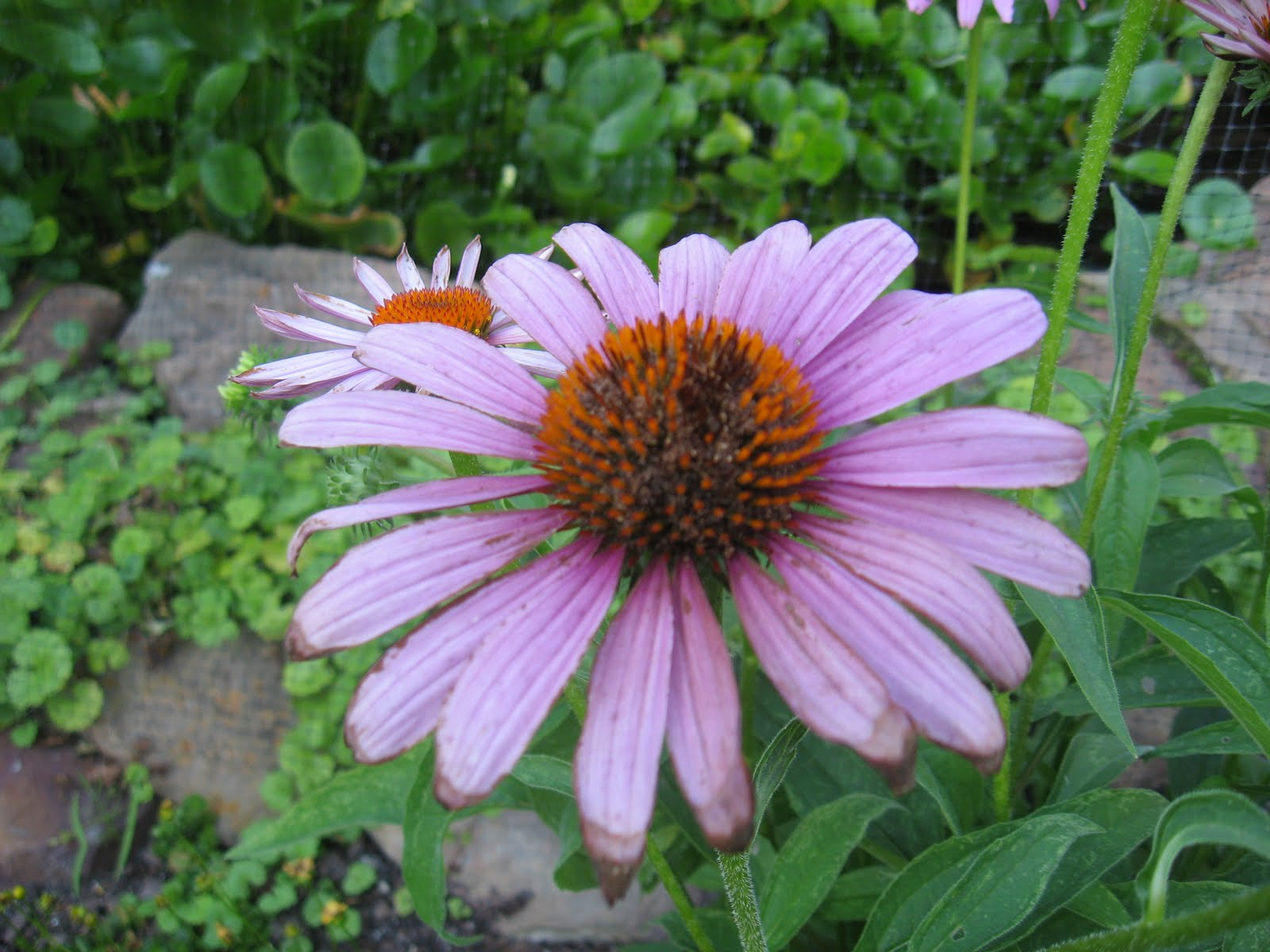 Meadowview Thymes Coneflower Trouble