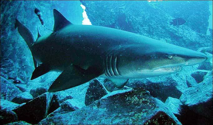 Shark Attack In Aquarium