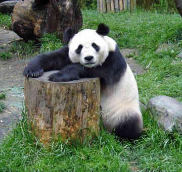 Panda Imut