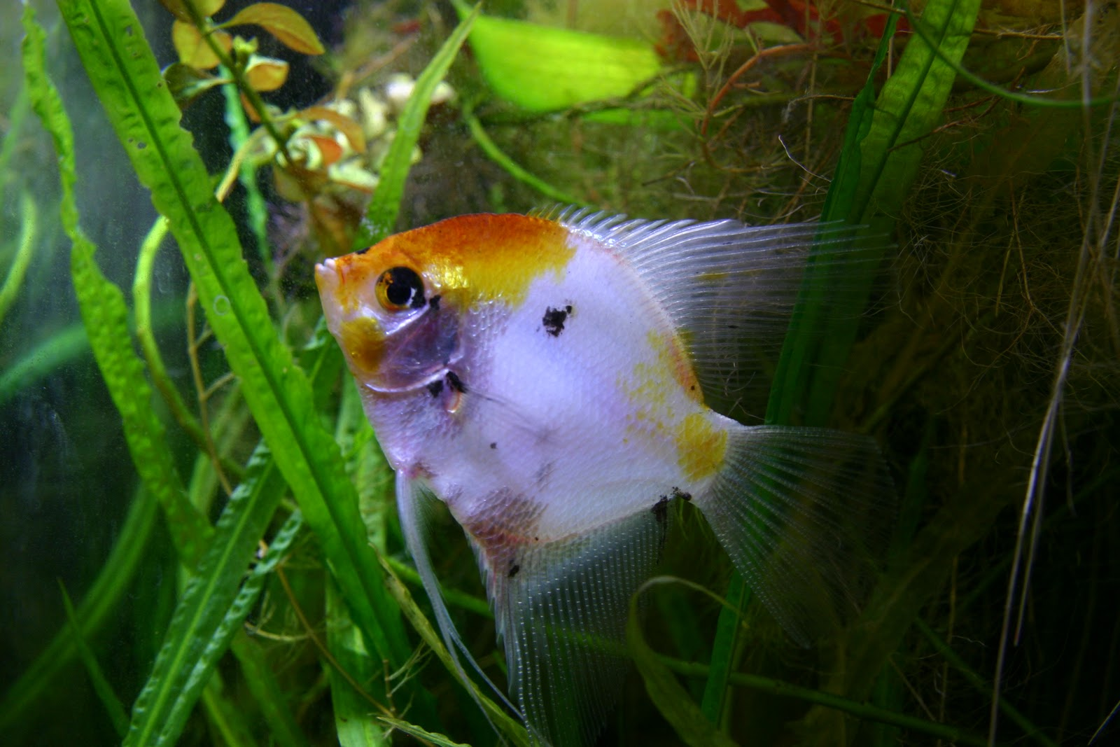 Angelfish for Freshwater fish to eat