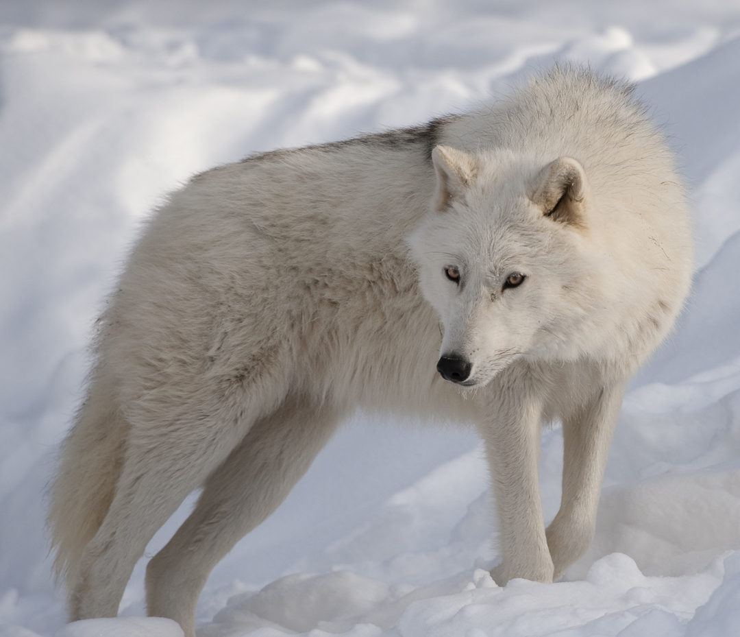 ... wolf the arctic wolf is found in the most northern parts of the wolf