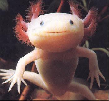 About animals: Axolotl