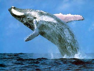 hvor meget sæd producerer en hval