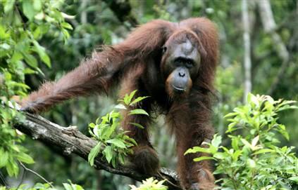 Borneo Orang Hutan