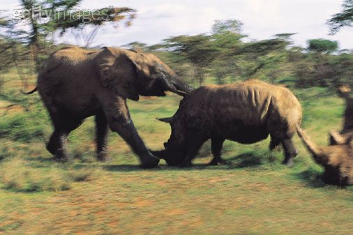 elephant_attacking_rhino.jpg