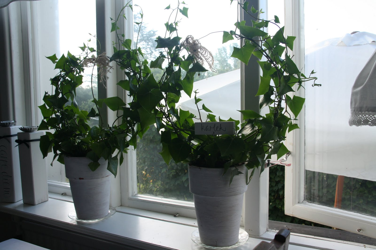 Gula Koket : Moste oven tipsa om dessa blommor till er som gillar murgronor men