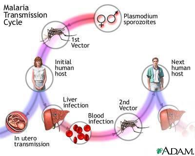 OMS MALARIA RESITENTE A TRATAMIENTOS ALERTA TRANSMISION