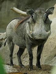 Warthog-Doofaar