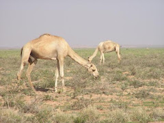 Grazing Somali Camels