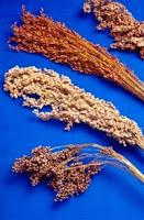 sorghum ethanol biofuels