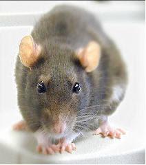 food crisis rat