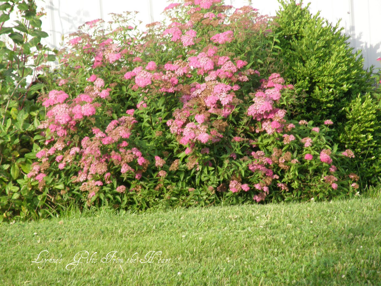 Displaying 16 gt images for white spirea bush