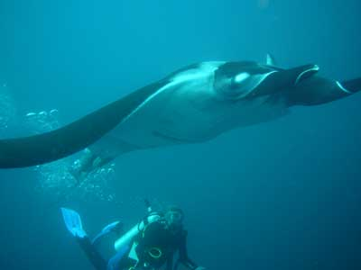 Manta in Andaman Sea
