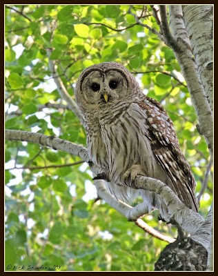 saskatchewan birds nature and scenery barred owl from