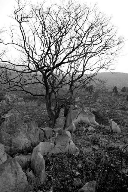 カルストの古木