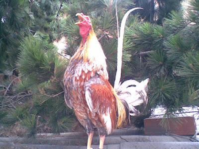 gallo cantando en la mañana de colombia como un gallo fino