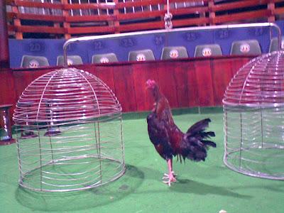 el lugar donde los gallos finos demuestran su fortaleza y jerarquia