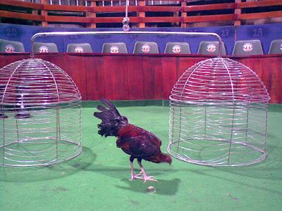 gallo fino en medio de las jaulas del ruedo
