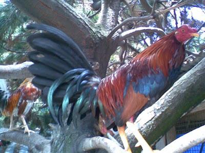 pollo en una vara donde pueden vivir como aves salvajes pero finas