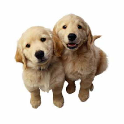 cute golden retriever puppies pictures. Golden Retriever Dog Lovers