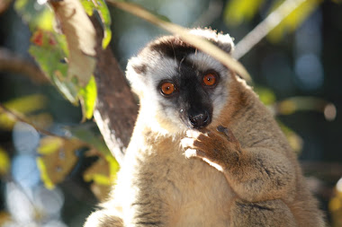 Brown Lemur - Madagascar