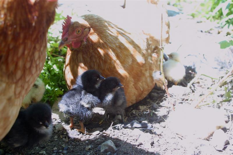 ChicksFewDaysOld4