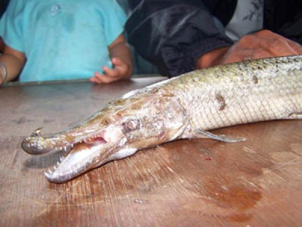 Gambar ikan kepala buaya
