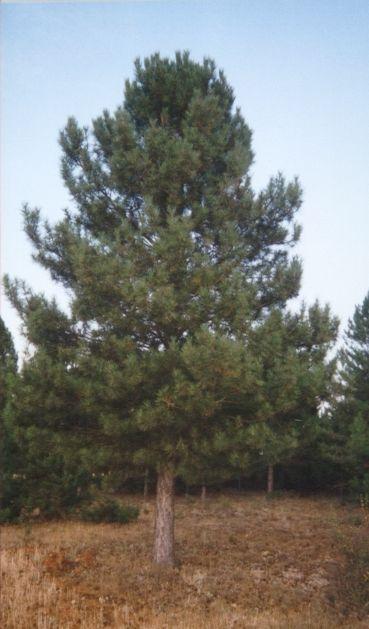 Ceibo y pino el pino for Tipos de pinos para jardin fotos