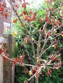 Dead Hawthorn (Crataegus x mordenensis 'Toba'))
